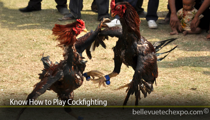 Know How to Play Cockfighting
